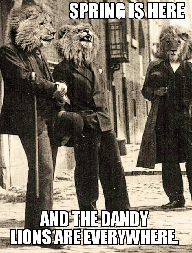 00 dandy lions