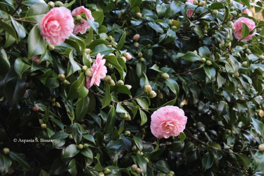 0 camellias 2