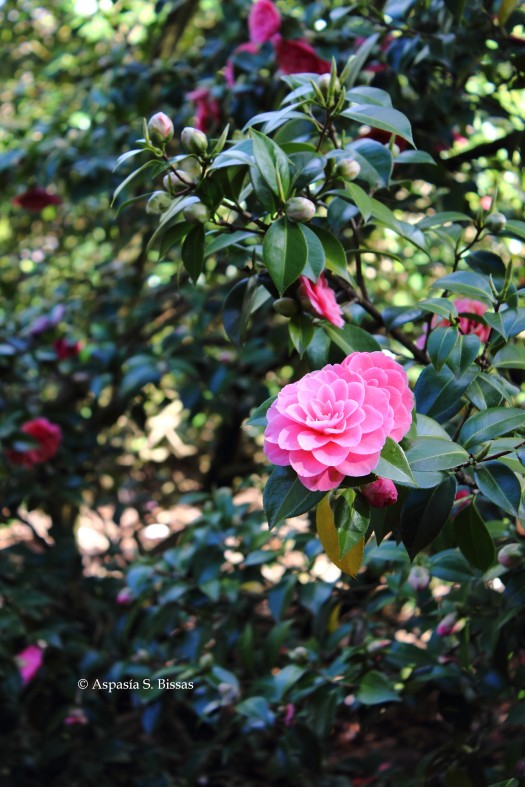 0 camellias 3