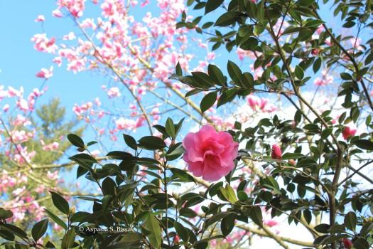0 camellias 4