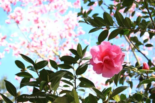 0 camellias 5