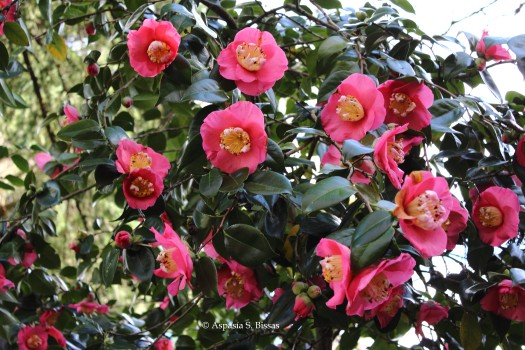 0 camellias