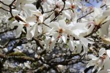 0 magnolia