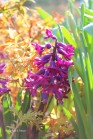 0 purple