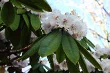 0 rhododendron 4