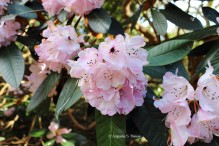0 rhododendron 5