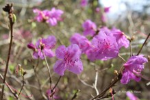 0 rhododendron
