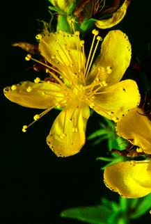 st. john's wort flower, aspasia s. bissas