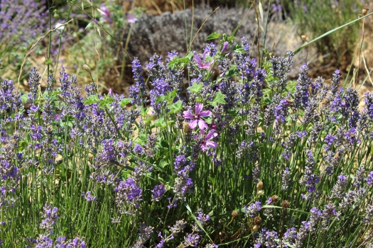 Visiting Provence, Lavender Fields, blog post by Aspasia S. Bissas