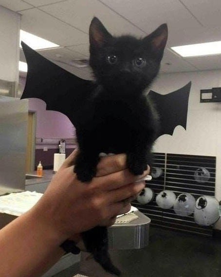 kitty, kitty bat, bat, black cat, black kitty, black kitten, cute, cuteness, dark, spooky, awesome