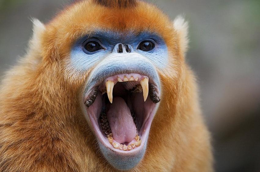Happy World Goth Day, blog post by Aspasia S. Bissas, aspasiasbissas.com. goth, gothic, vampire, vampires, vampire monkey, fanged monkey, golden monkey, golden snub-nosed monkey